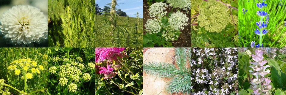 Plantes – cultivées, conifères